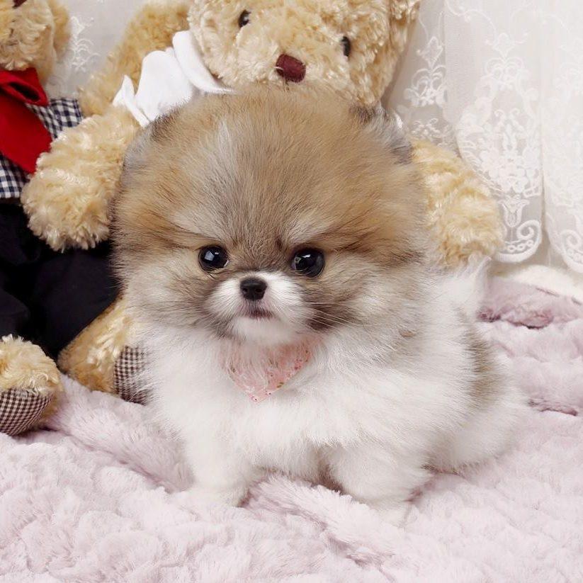 Nigel Small Teacup Pomeranian
