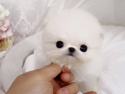 White Micro Pomeranian Puppy For Sale