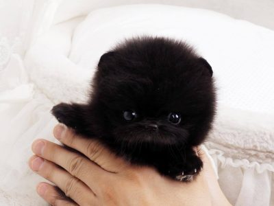 Black Micro Pomeranian Puppy For Sale
