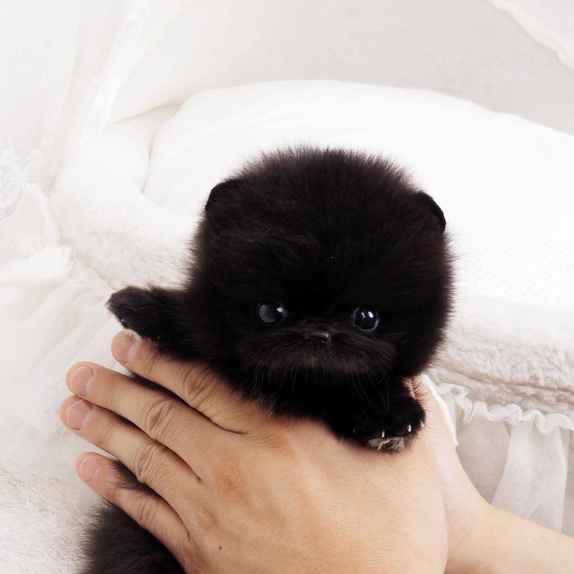 Nedd Micro Pomeranian