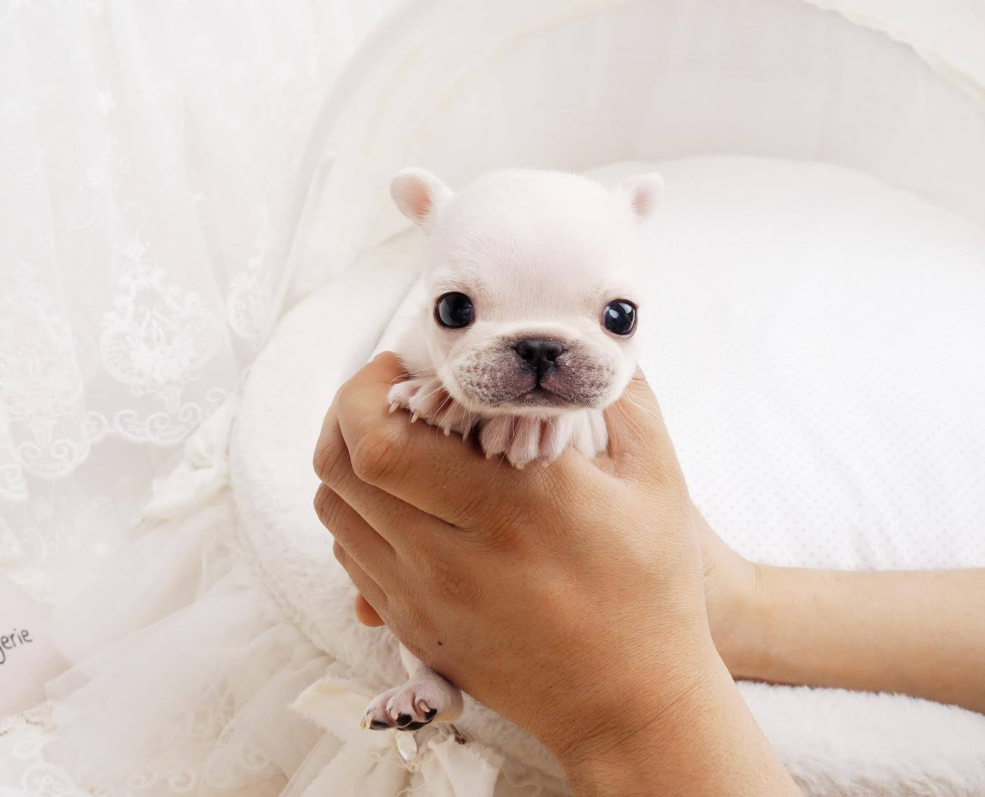 Fiona White Teacup Frenchie