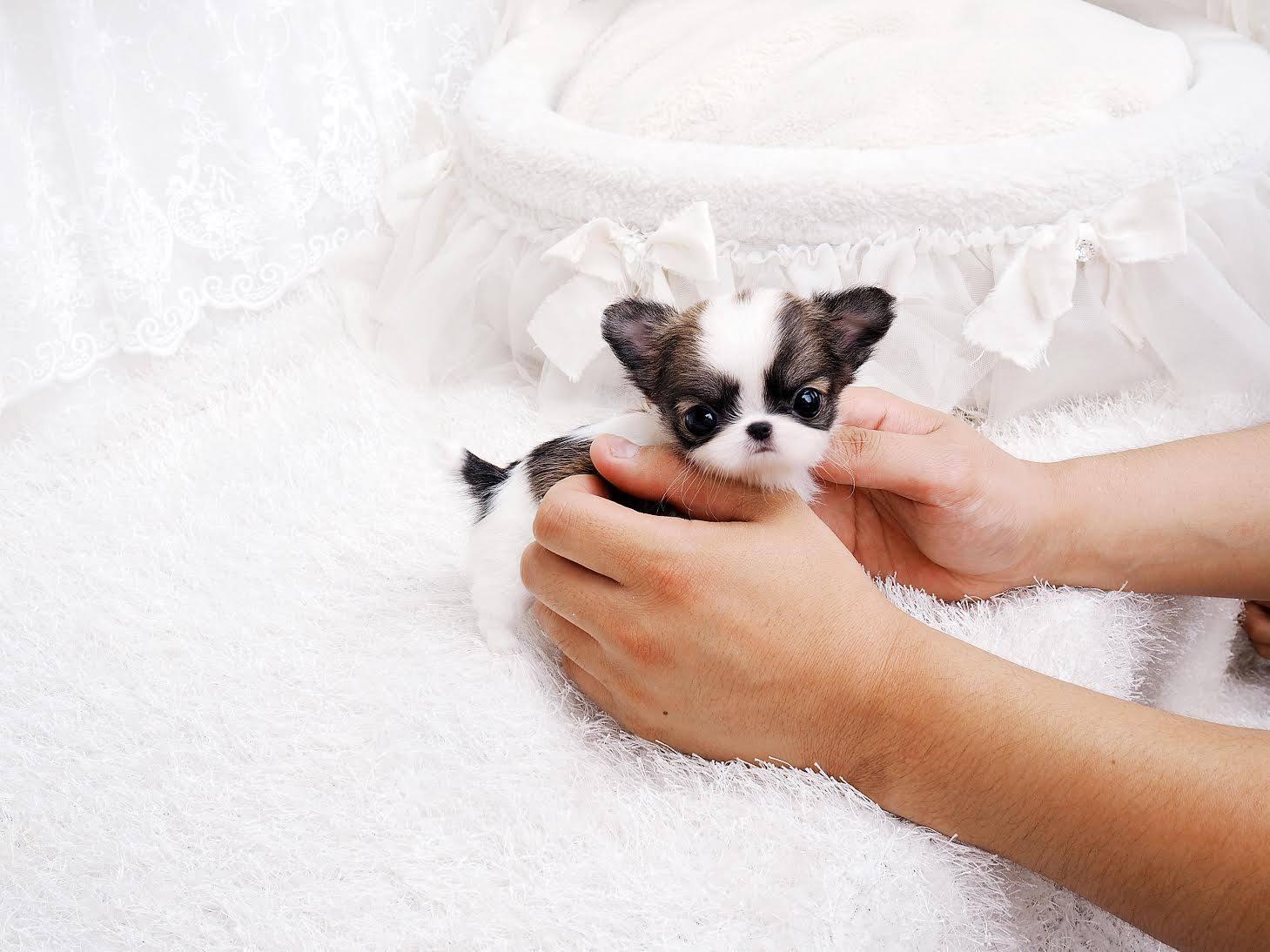 Cookie Micro Chihuahua