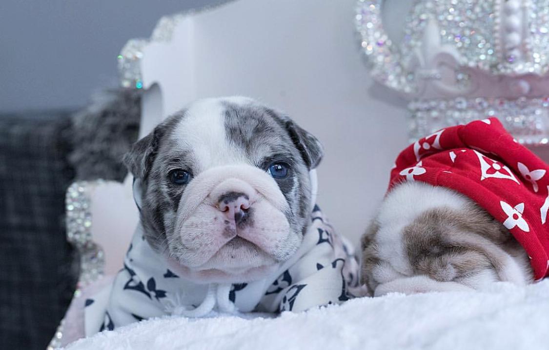 Emilio Merle Mini English Bulldog