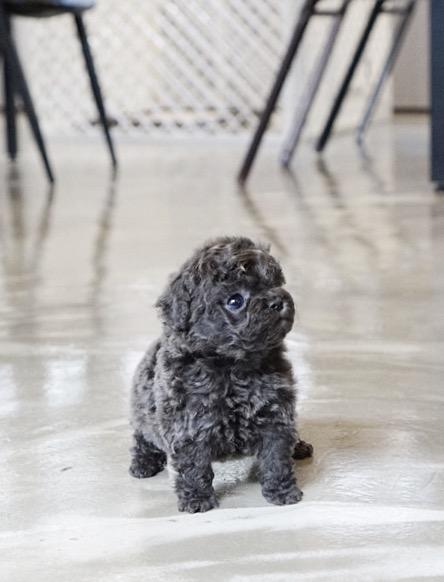 Preston Blue Teacup Poodle