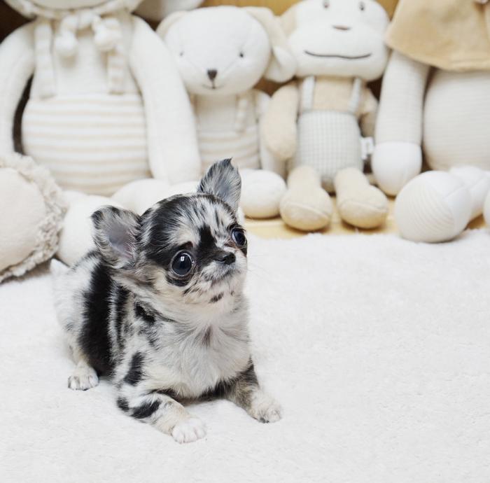 Chester Merle Micro Chihuahua