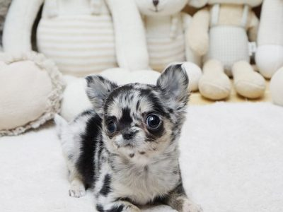Merle Micro Chihuahua Puppy For Sale