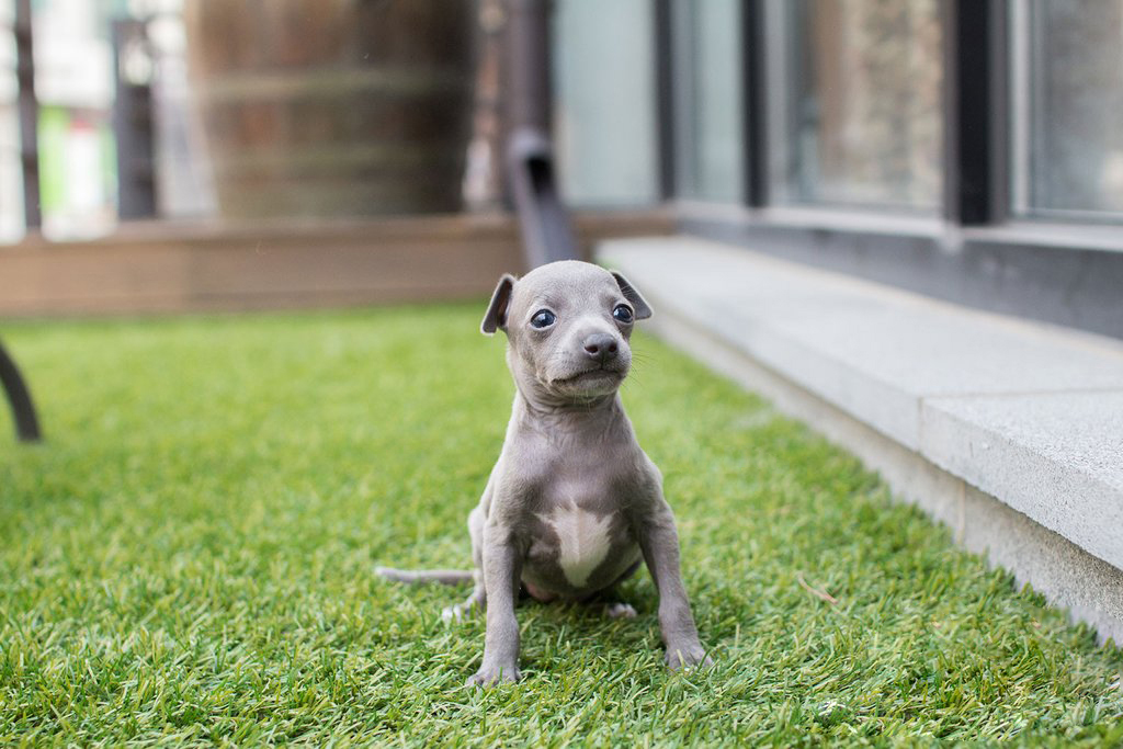 Ingred Teacup Italian Greyhound