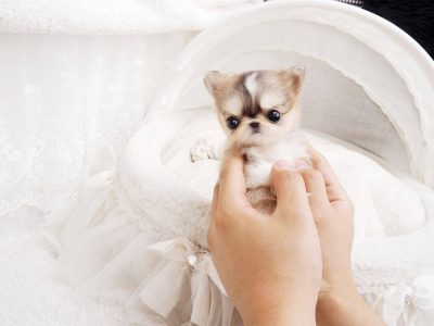 Cream Micro Chihuahua Puppy For Sale