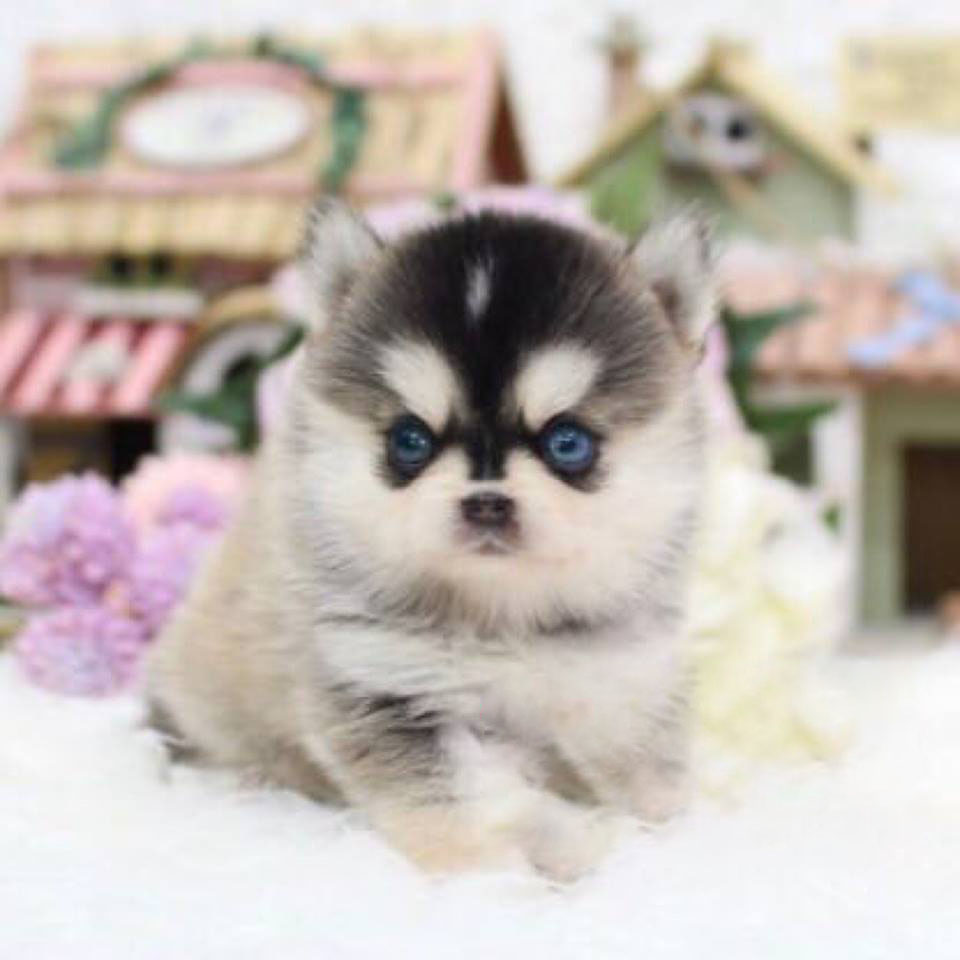 Hoppy Teacup Pomsky for Sale