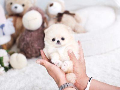 Cream Micro Pomeranian Puppy