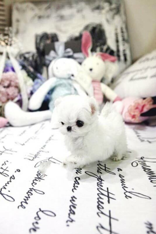 Mint Micro Teacup Maltese