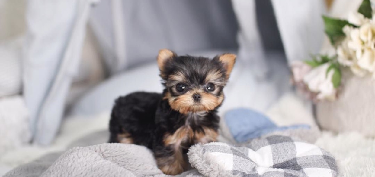 Yale Micro Yorkie for Sale