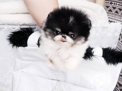 Black and White Pari Micro Pomeranian Puppy