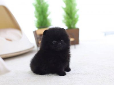 Black Micro Pomeranian Puppy