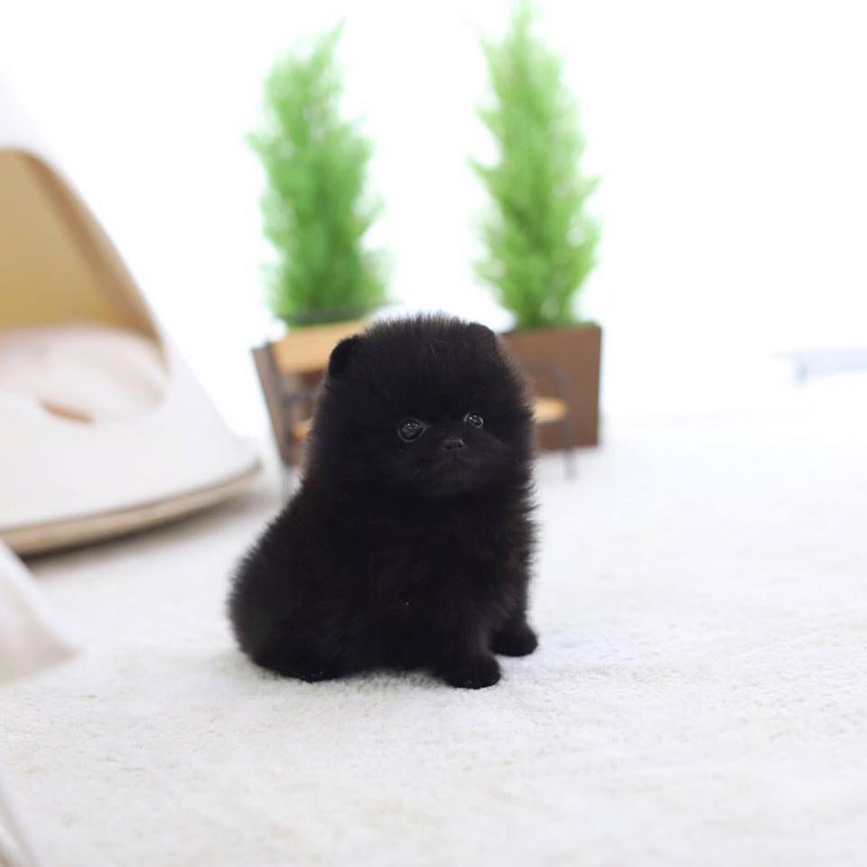 Nate Black Micro Pomeranian
