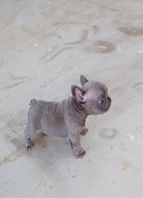 Fetty Blue Tiny French Bulldog