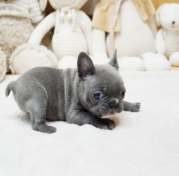 Faboo Blue Mini French Bulldog