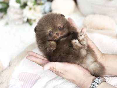 Chocolate Micro Pomeranian Puppy