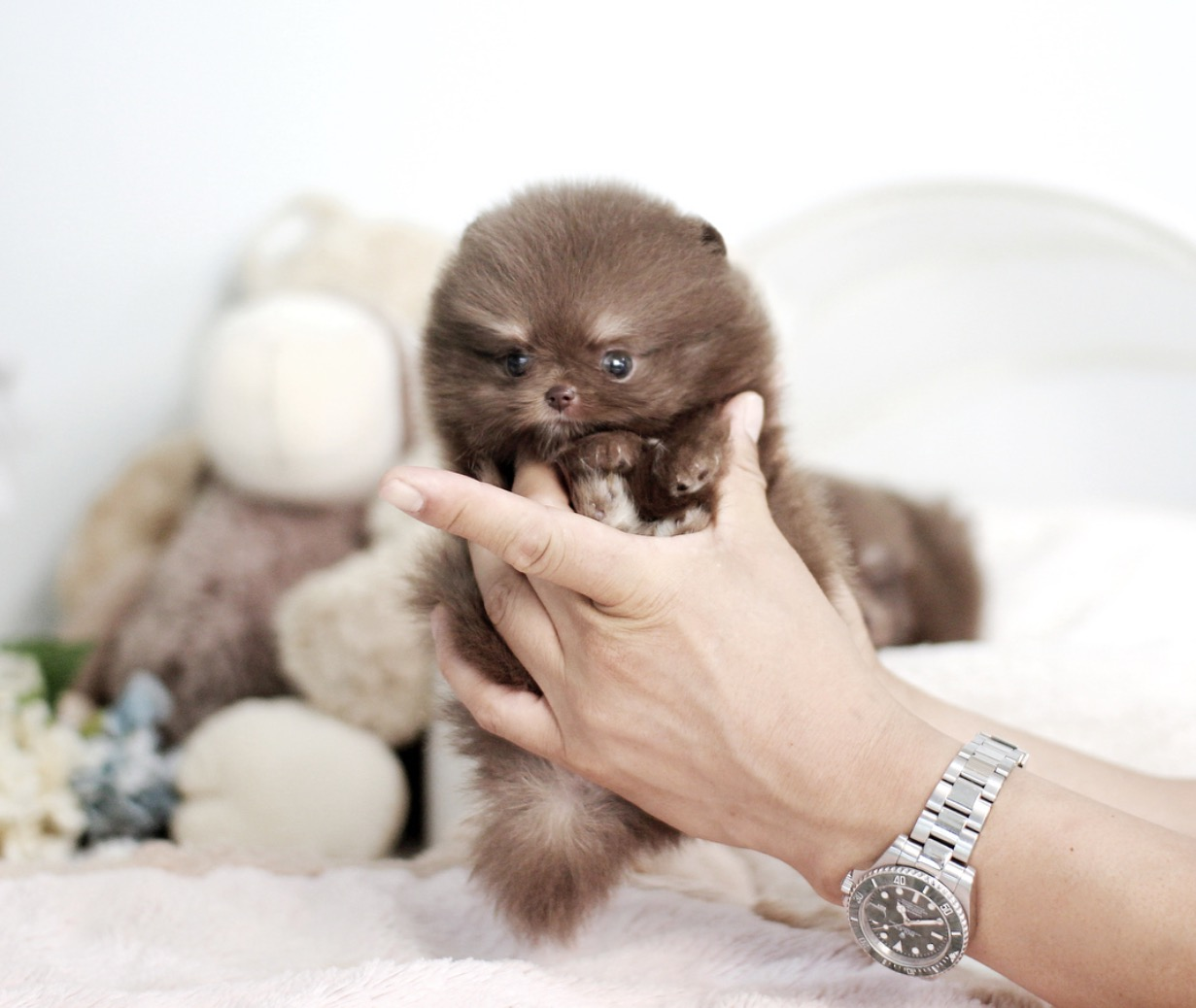Norm Micro Pomeranian for Sale