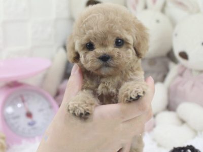 Cream Micro Poodle Puppy