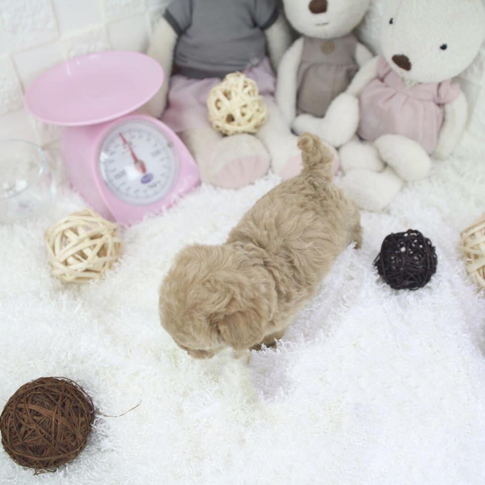 Peanut Micro Teacup Cream Poodle