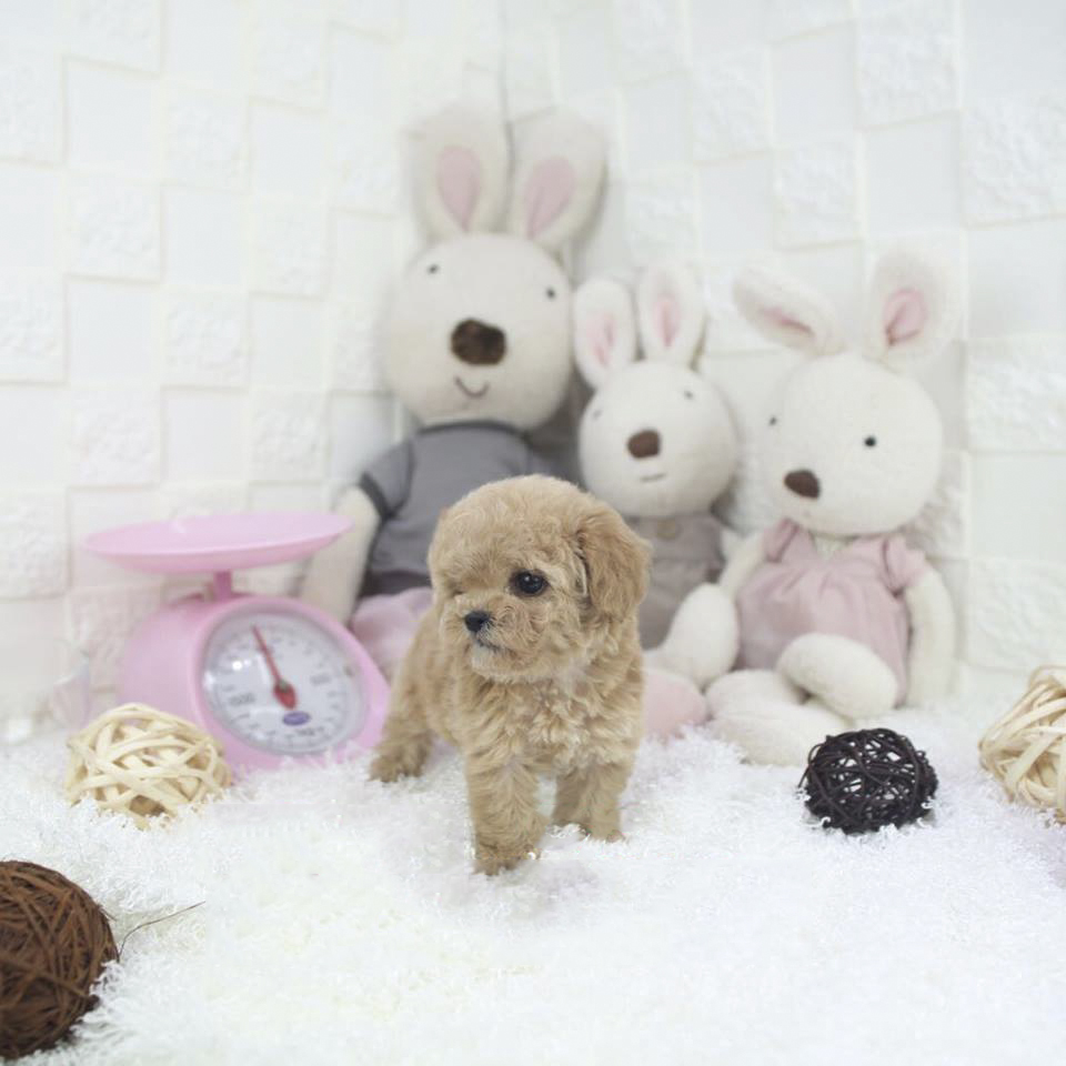 Peanut Micro Teacup Cream Poodle