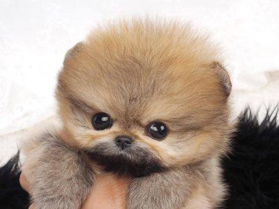Classic Micro Pomeranian Puppy