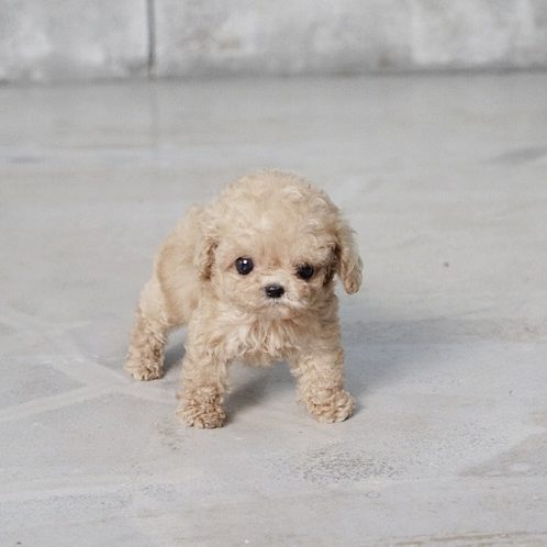 Pete Tiny Teacup Poodle