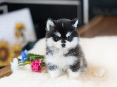 Classic Teacup Pomsky Puppy For Sale
