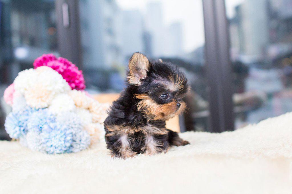 Yolo Tiny Teacup Yorkie