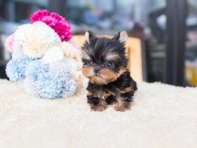 Black and Tan Micro Yorkie Puppy