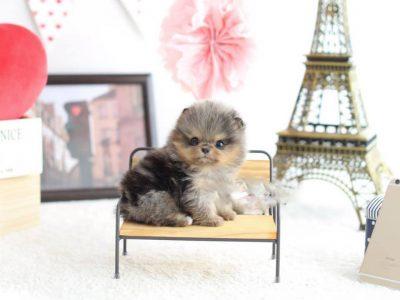 Merle Micro Pomeranian Puppy