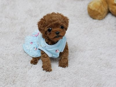 Red Micro Poodle Puppy