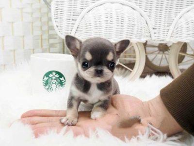 Blue Micro Chihuahua Puppy
