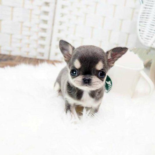 Cheeta Blue Micro Chihuahua