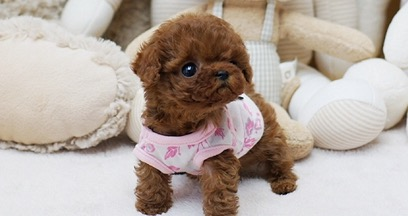 Piper Red Micro Poodle