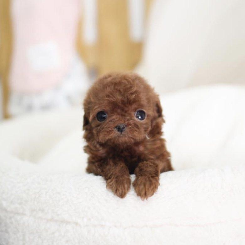 Pepper Teacup Red Poodle
