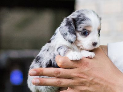 Blue Merle Teacup Dachshund Puppy
