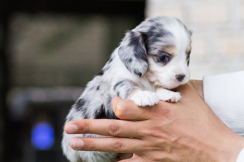 Daxel Teacup Doxie
