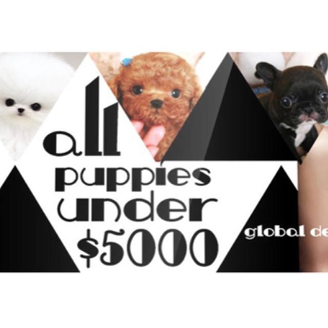 #therapydog #Servicedog #smallpoodle #toypoodle #teacupbulldog #teacuppom
