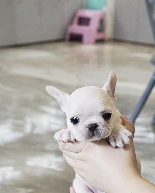 Finnigan Teacup Frenchie
