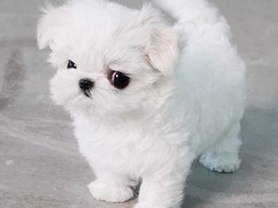 Micro Maltese Puppy For Sale