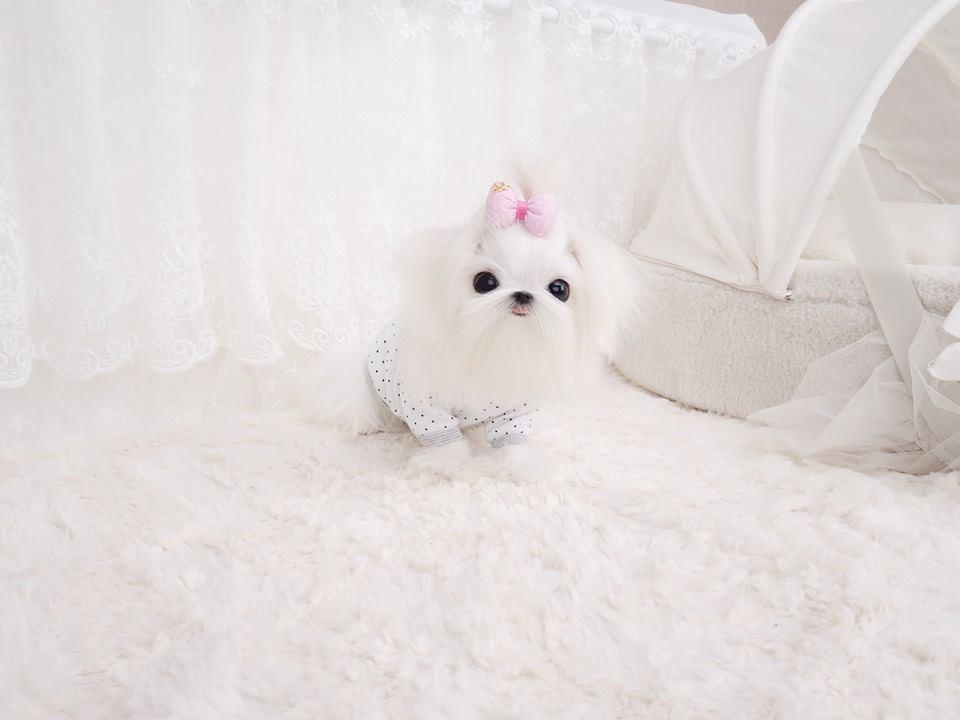 Max Micro Teacup Maltese Puppy