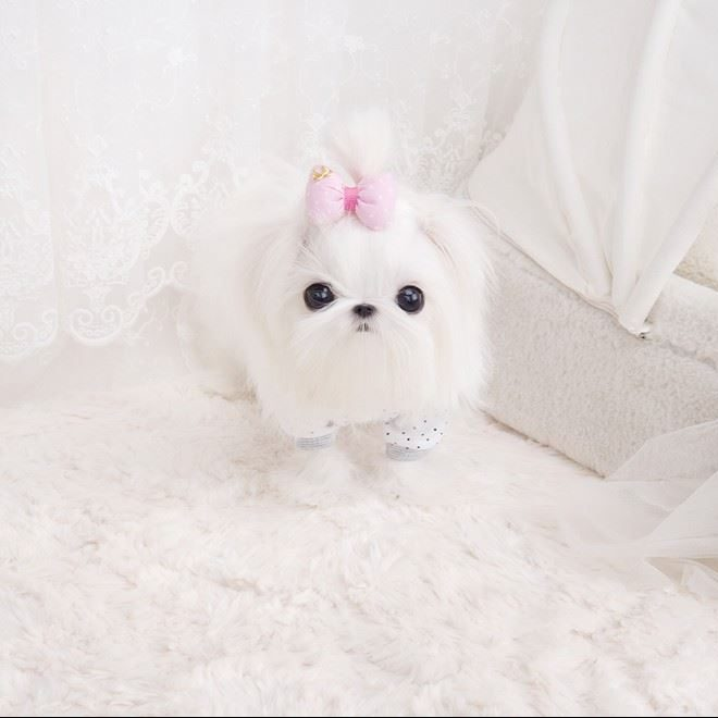 Max Micro Teacup Maltese Puppy