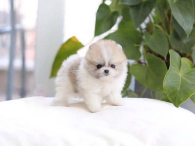 Cream Smoke Micro Pomeranian Puppy