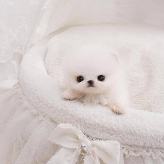 Noodles White Micro Teacup Pomeranian