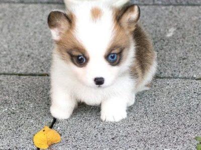 Classic Teacup Corgi Puppy