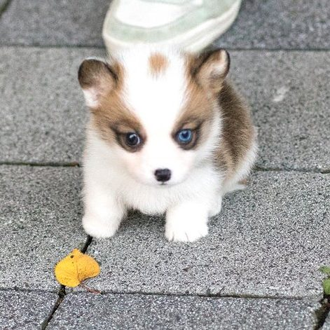 Mini Corgi Puppies For Sale >> Vince Teacup Corgi Microteacups