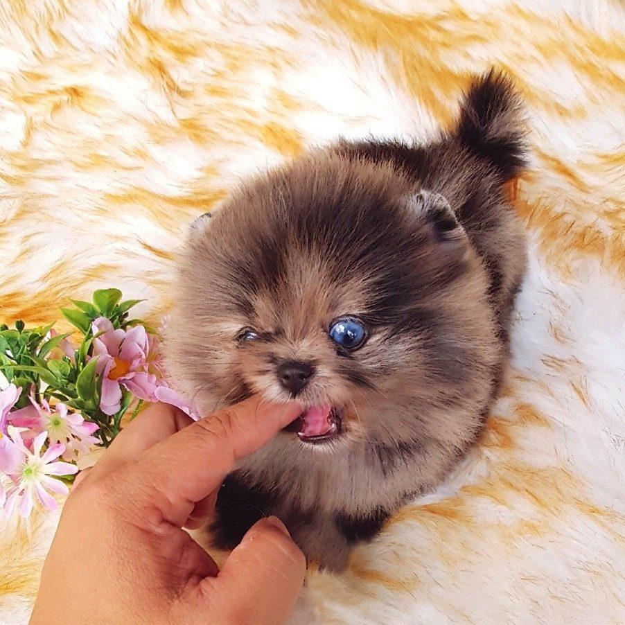 Acai Micro Pomeranian for Sale