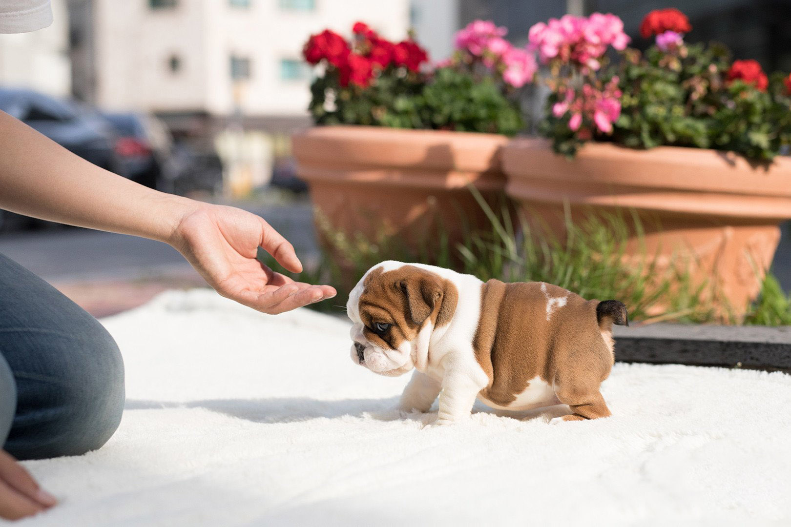 Benita  Teacup English Bulldog for Sale